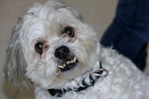 Horror Aggressive Maltese Zombie Bite Dog Shitzu