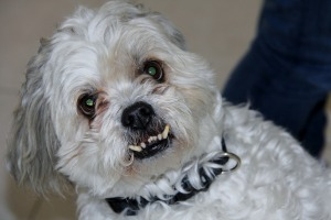 Horror Aggressive Maltese Zombie Bite Dog Shitzu